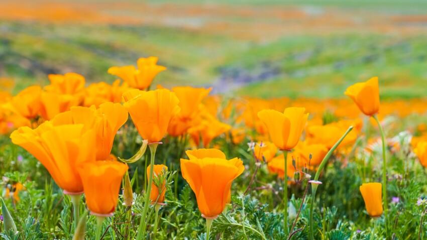 Pavot de Californie (escholtzia) : quels sont ses bienfaits et comment l'utiliser ?