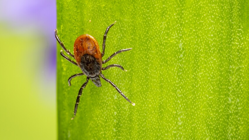 Maladie de Lyme : les 4 lieux où vous risquez le plus une morsure de tique