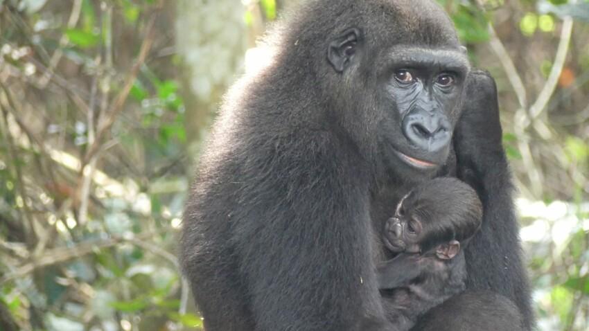 Le zoo de Beauval annonce la naissance d'un bébé gorille, né de 2 gorilles réintroduits dans la nature !