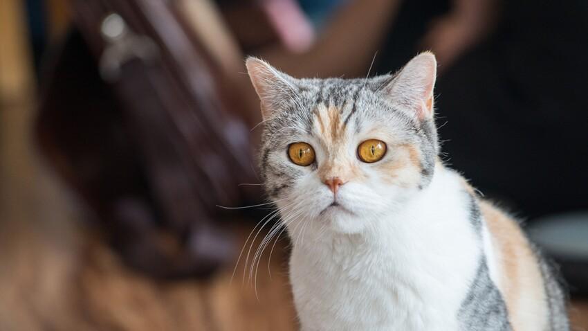 L'American wirehair, le Chausie, le Laperm, le Sokoké : ces chats de race peuvent-ils vous correspondre ?