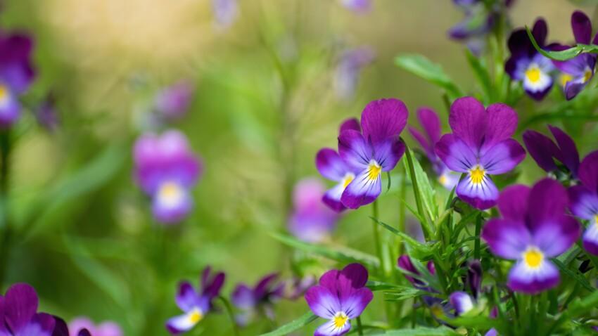 Pensée sauvage : bienfaits et contre-indications de cette plante médicinale
