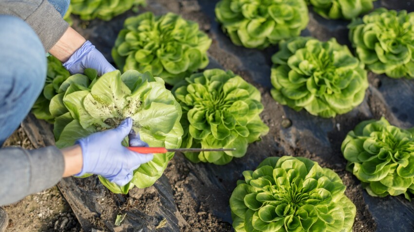 Cultiver ses salades, trop facile!