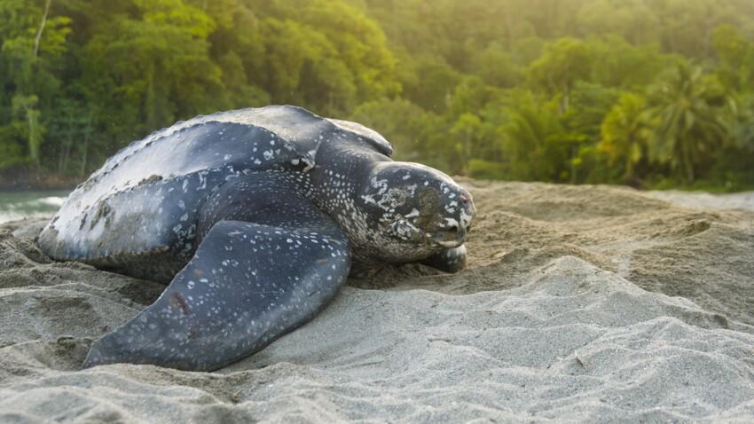 Tout savoir sur la tortue luth