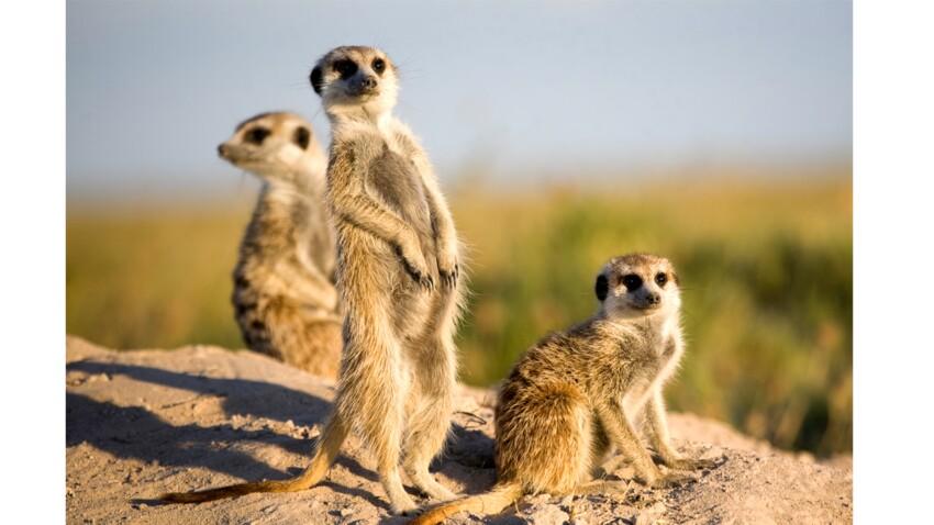 Tout savoir sur le suricate