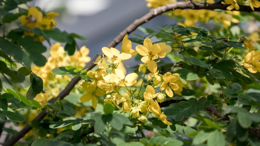 Séné : quels sont les bienfaits de cette plante médicinale ?