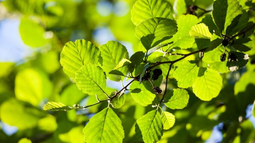 Bourdaine : les bienfaits et les contre-indications de cette plante médicinale
