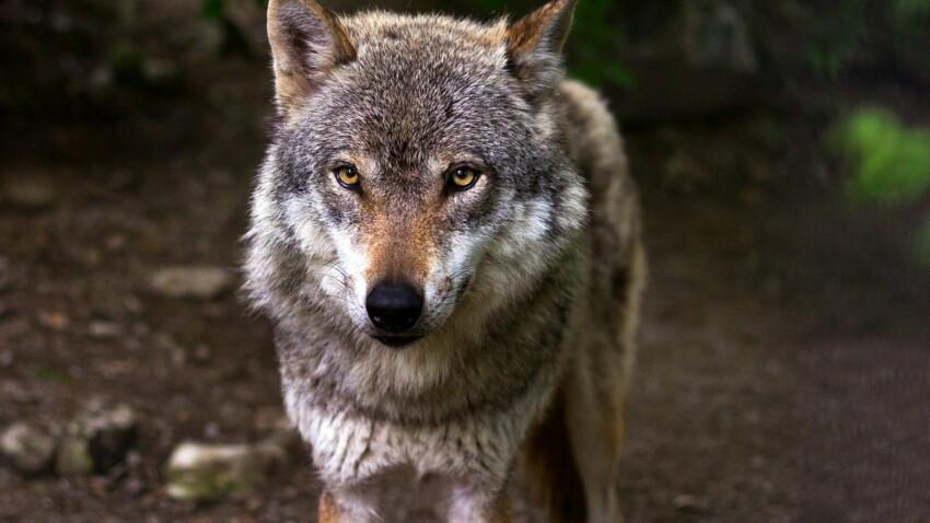 Découvrez ces lieux qui portent le nom du loup