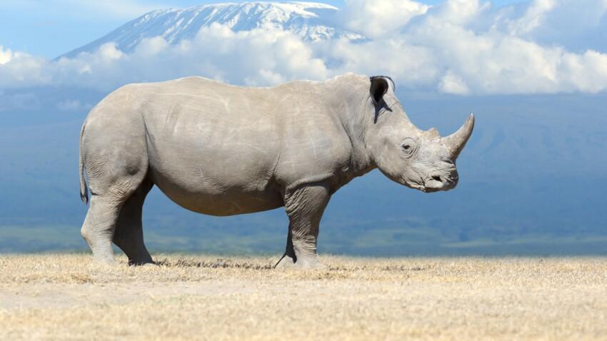 Tout savoir sur le rhinocéros blanc