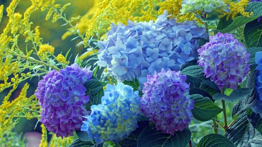 Hortensia : comment obtenir des fleurs bleues ?