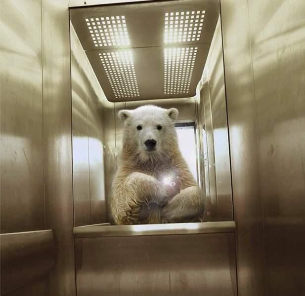 L'ours blanc dans l'ascenseur