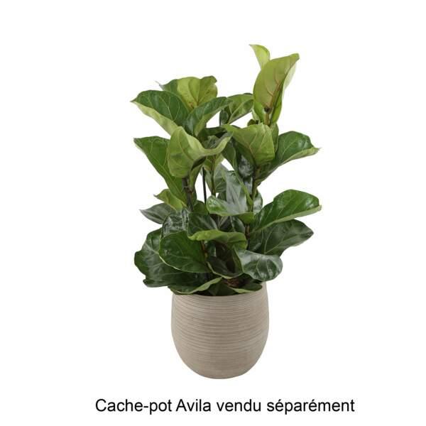 Ficus et pot en terre cuite