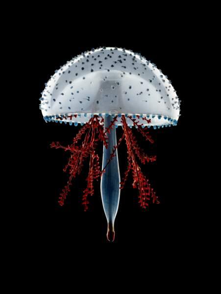 La méduse aux branches rouges de Leopold & Rudolf Blaschk, photographiée par Guido Mocafico