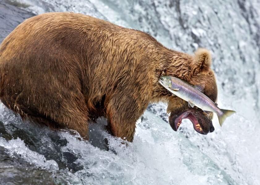 Atterrissage de poisson raté pour cet ours qui se réjouissait déjà de le manger