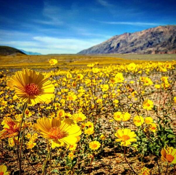 """La fleur la plus présente actuellement est appelée """"l'or du désert""""."""