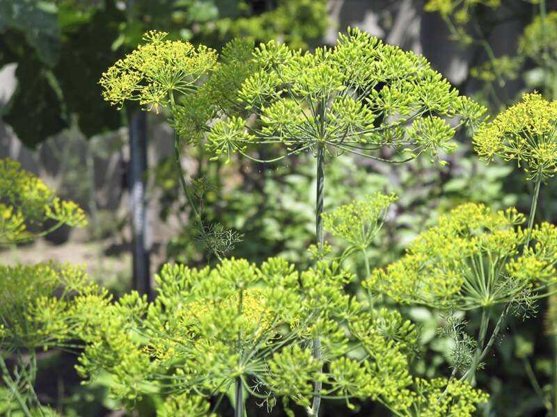 Des graines, des racines et des feuilles antiballonnements
