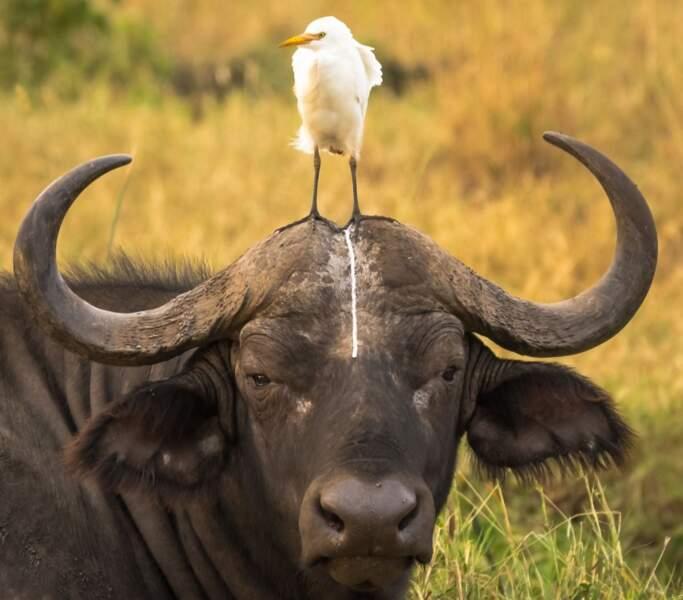 Cet oiseau aurait-il pris ce buffle pour des toilettes?