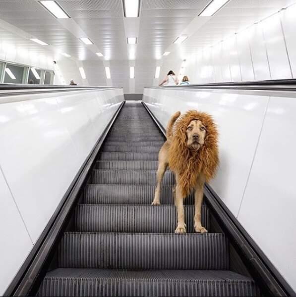 Le roi de la jungle urbaine dans le métro