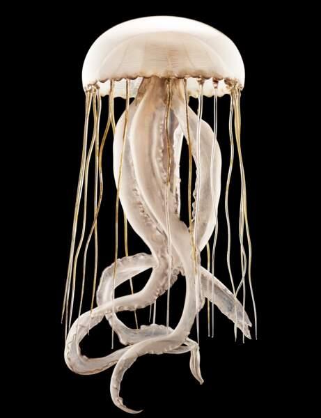 La méduse rayonnée de Leopold & Rudolf Blaschka, immortalisée par Guido Mocafico