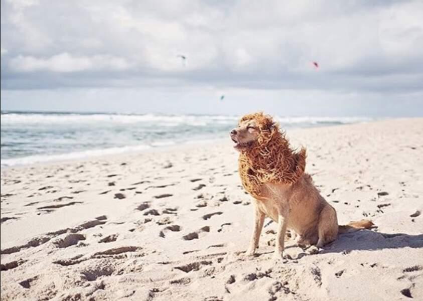 Voici Tschikko, le chien-lion !