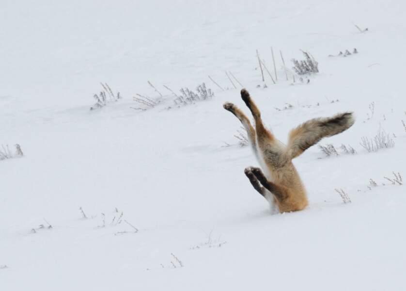 Un renard sachant chasser... ou pas !