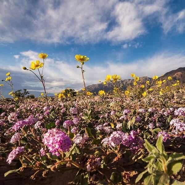 Il faut des conditions météo particulières pour que les fleurs éclosent.