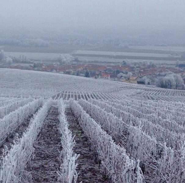 Magnifiques vignes de champagne givrées du côté d'Épernay