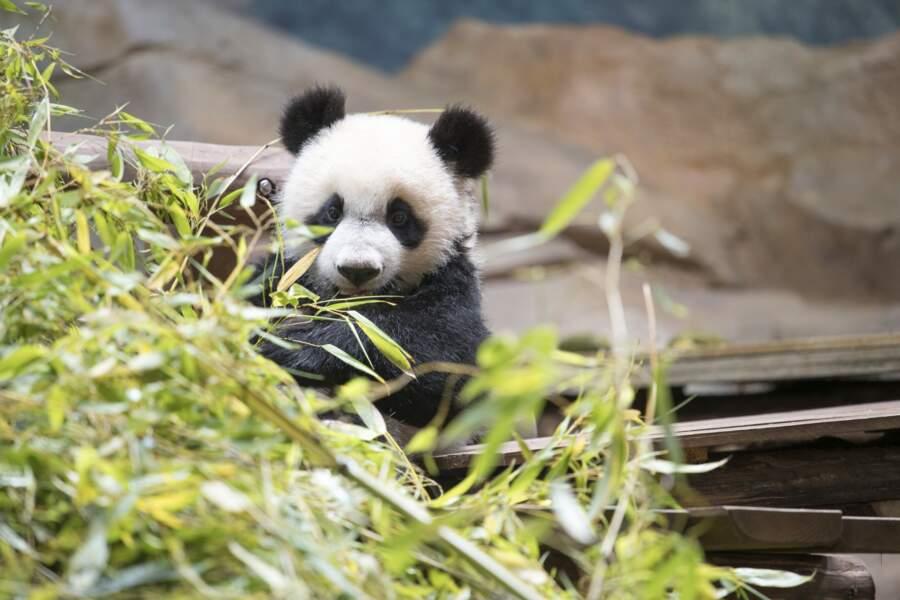 À dix mois, Yuan Meng est déjà fan de bambou