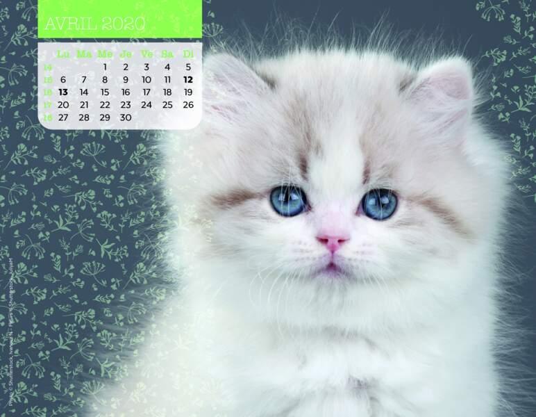Calendrier Miaou 2020 : Avril