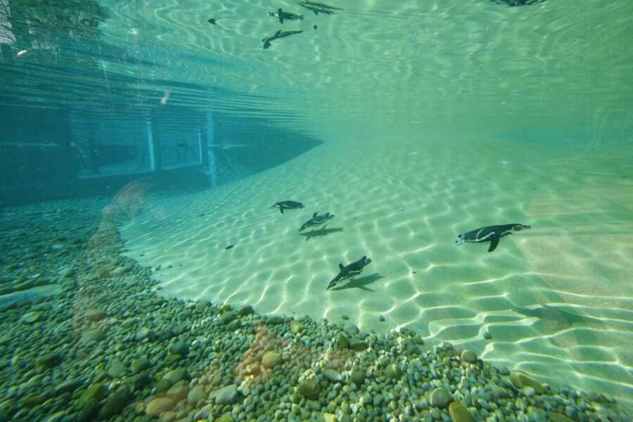 Le bassin des manchots de Humboldt