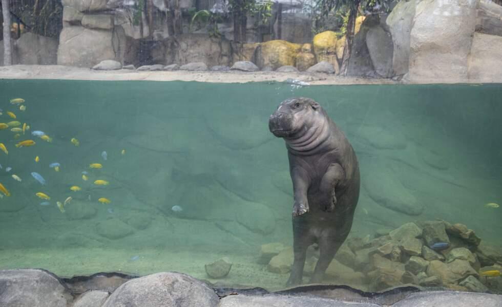 Hippopotame pygmée.
