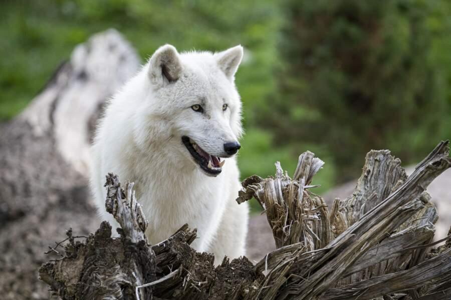 Loup arctique.