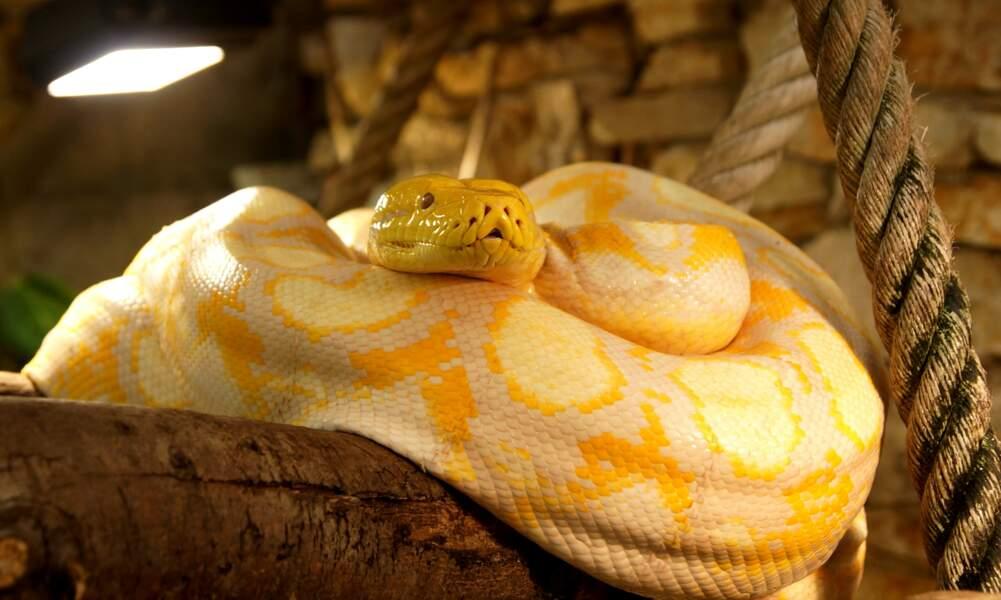 Python réticulé albinos.