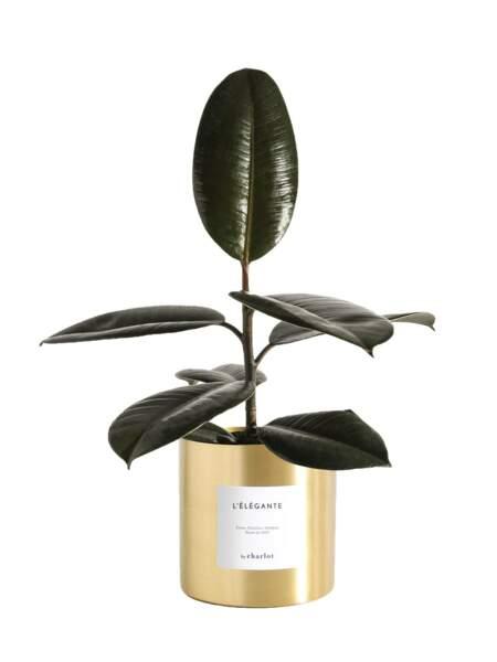 Ficus en pot