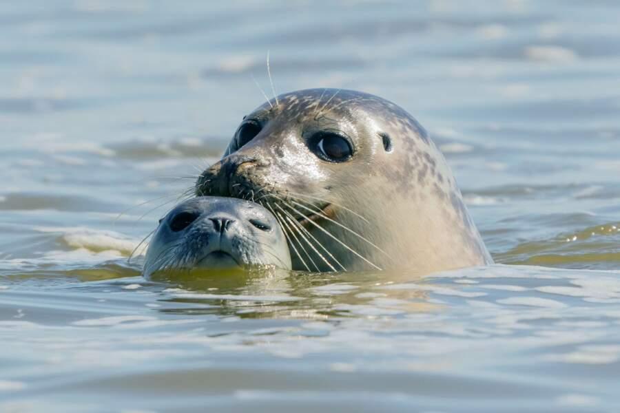 Les phoques gris, résidants permanents de la baie de Somme