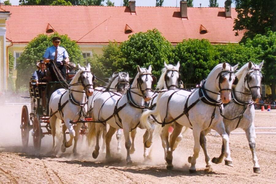 Les chevaux Kladruber à Kladruby